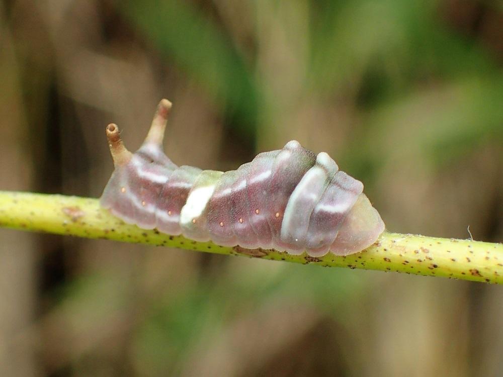 ウラギンシジミ4(幼虫)