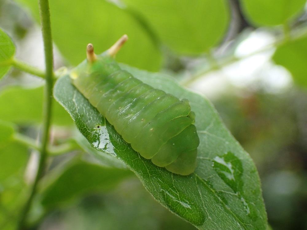 ウラギンシジミ5(幼虫)