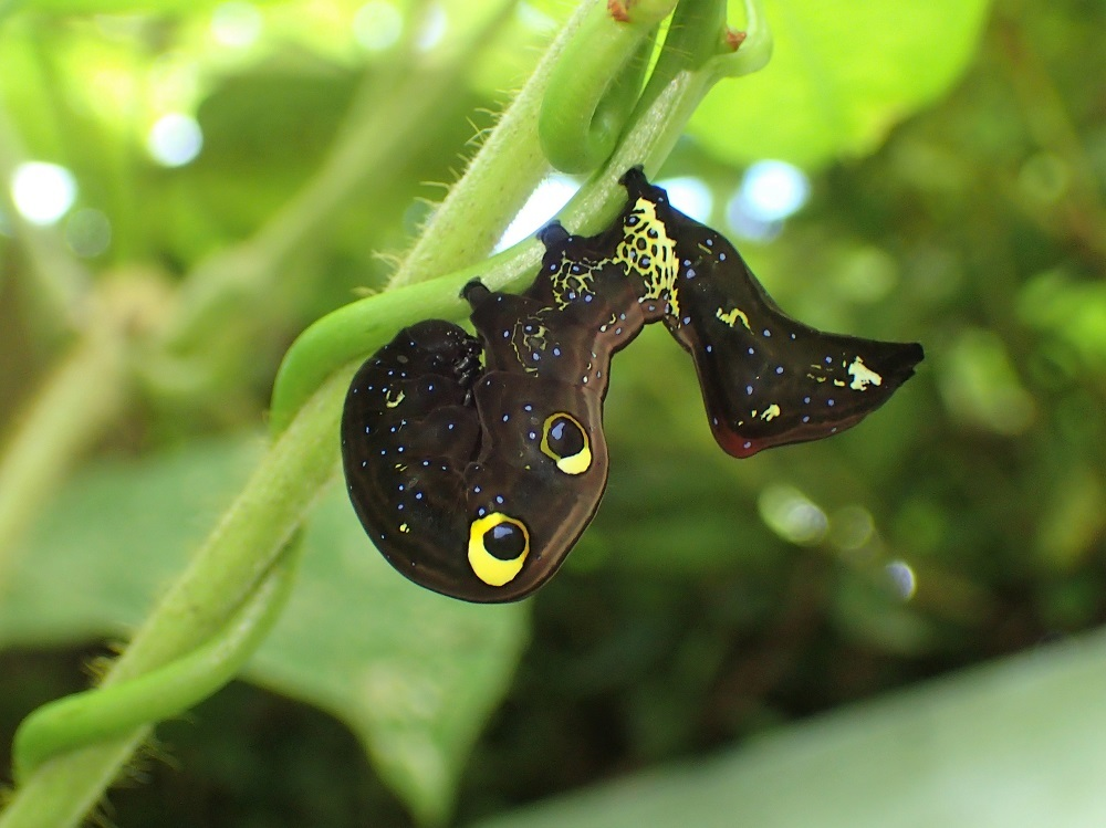 アケビコノハ3(幼虫)