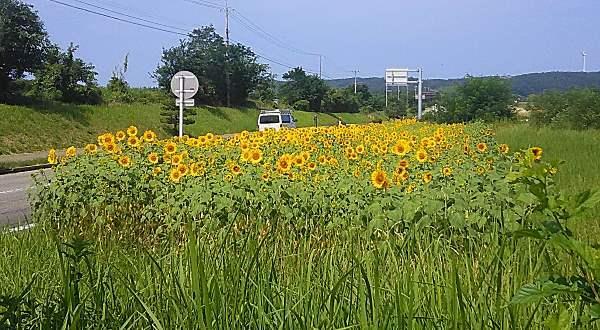 20180721_himawari.jpg