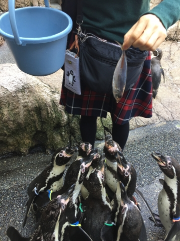 20180324-フンボルトペンギンの餌やり体験 (9)