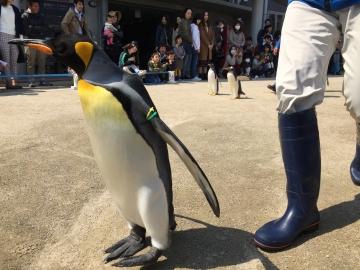 20180424-キングペンギンのパレード (4)