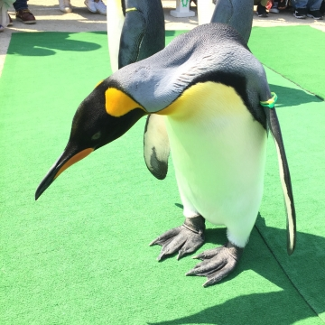 20180424-キングペンギンのパレード (6)