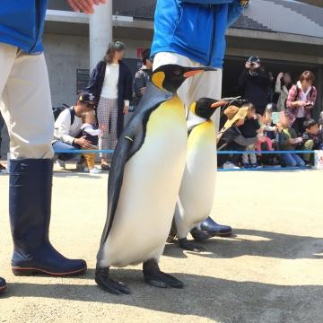 20180424-キングペンギンのパレード (3)-加工