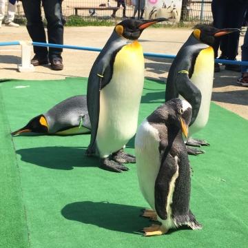 20180424-キングペンギンのパレード (13)