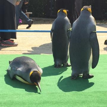 20180424-キングペンギンのパレード (14)