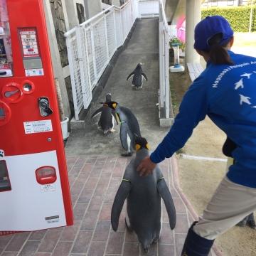 20180424-キングペンギンのパレード (23)