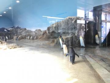 20180424-キングペンギンのパレード (27)