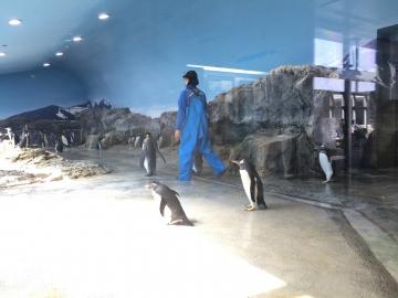 20180424-キングペンギンのパレード (28)
