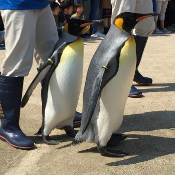 20180424-キングペンギンのパレード (2)-加工