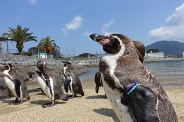 20180324-フンボルトペンギンの展示 (6)