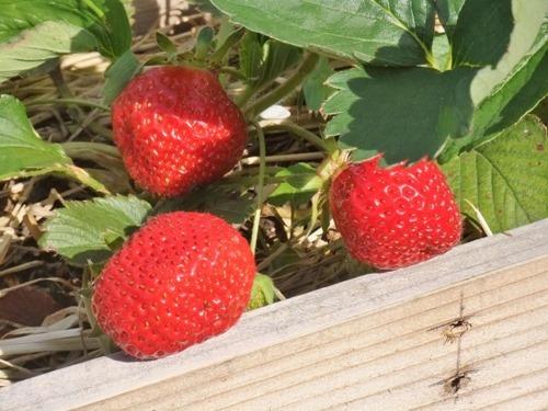 180430strawberry3-2
