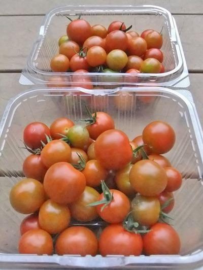 180628mini_tomato2