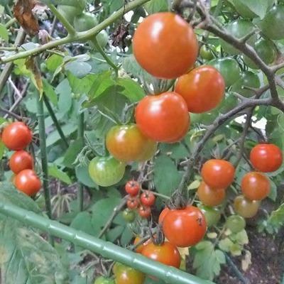 180628mini_tomato