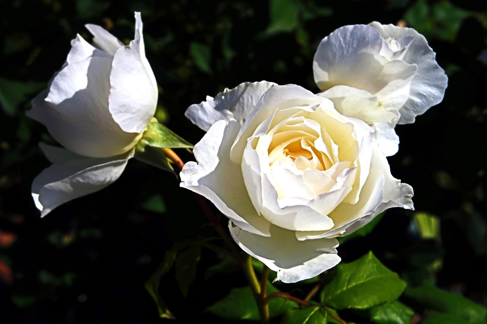白いバラ-20180711-2000