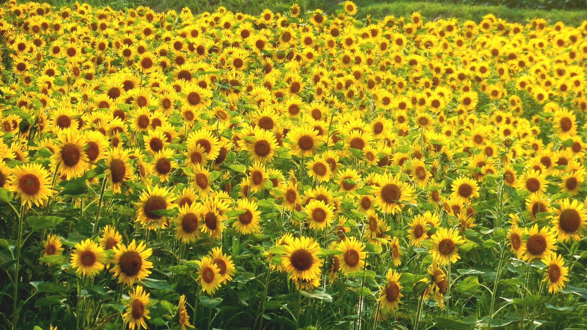 DSCN4465-向日葵の笑顔-2000