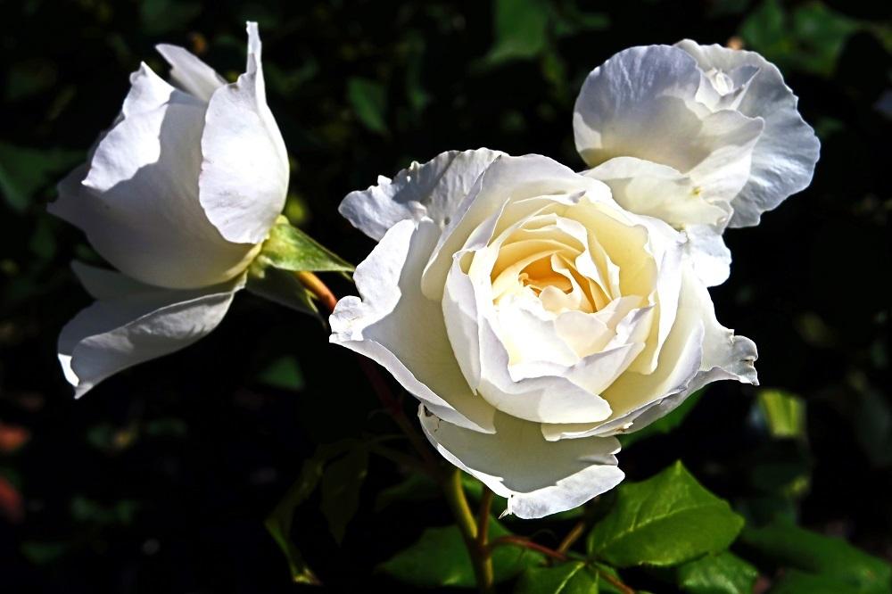 白いバラ-20180711-1000