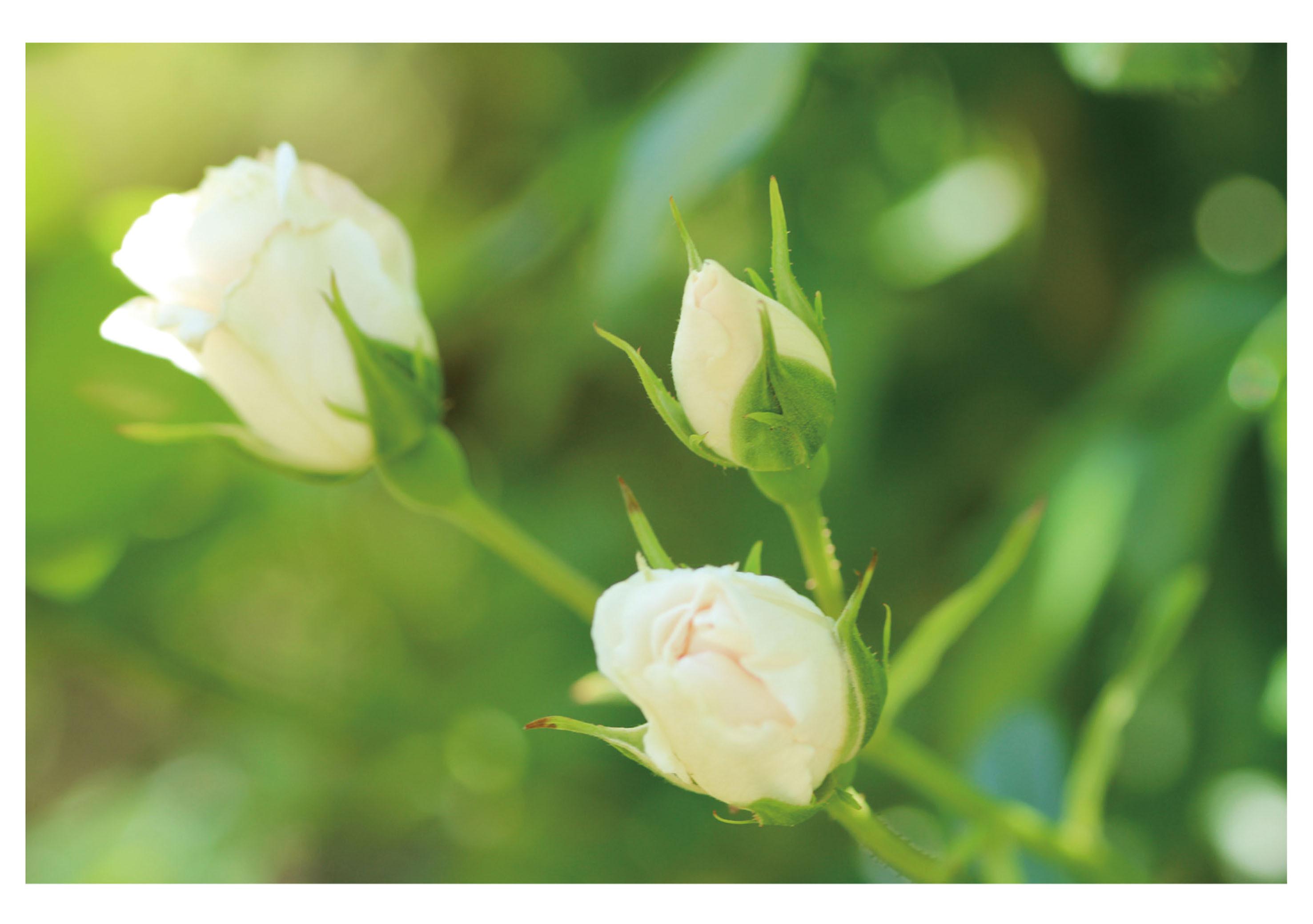蕾の白バラ