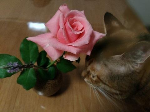 バラと猫3
