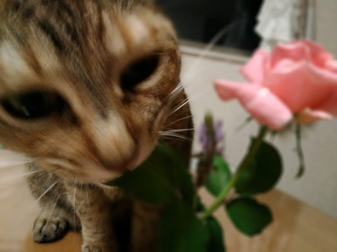 バラと猫2