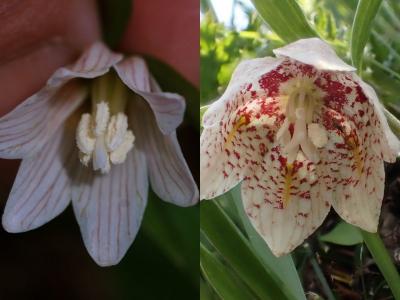ホソバナコバイモとコバイモの花披