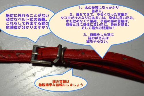 赤い首輪をした迷い猫003