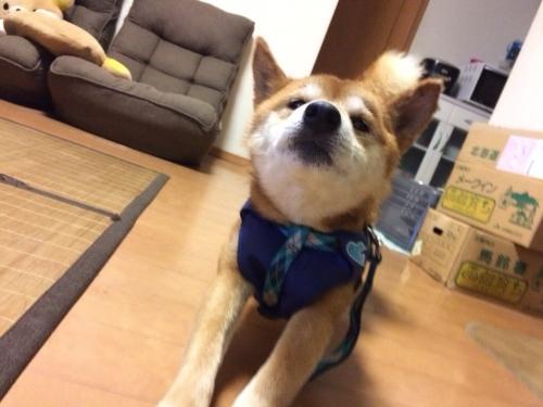 千葉県柴犬-004