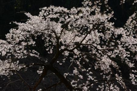 枝垂桜(エドヒガン)