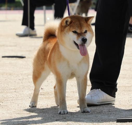 2018-04-29高知連合展成犬雌2