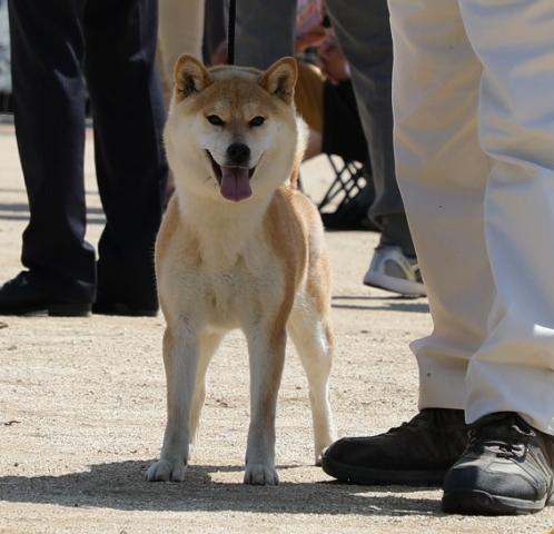 2018-04-29高知連合展成犬雌3