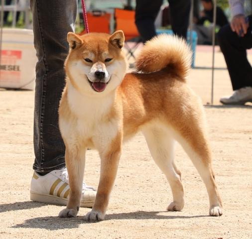 2018-04-29高知連合展成犬雌5