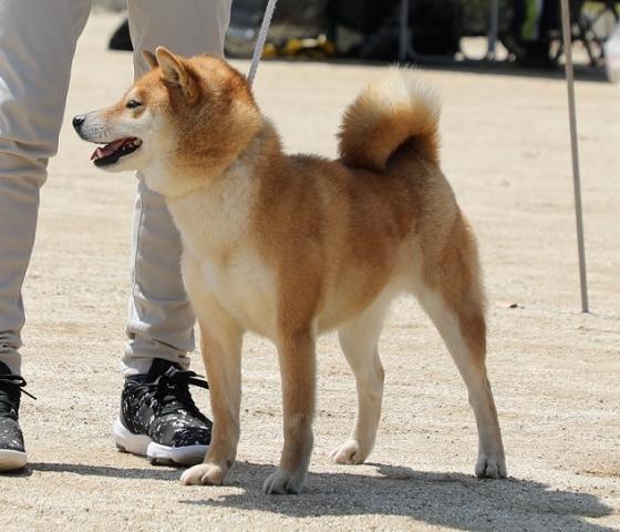 2018-04-29高知連合展成犬雌12