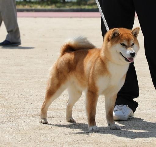 2018-04-29高知連合展成犬雌8