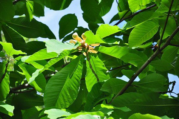 1024px-Magnolia-hypoleuca-00.jpg