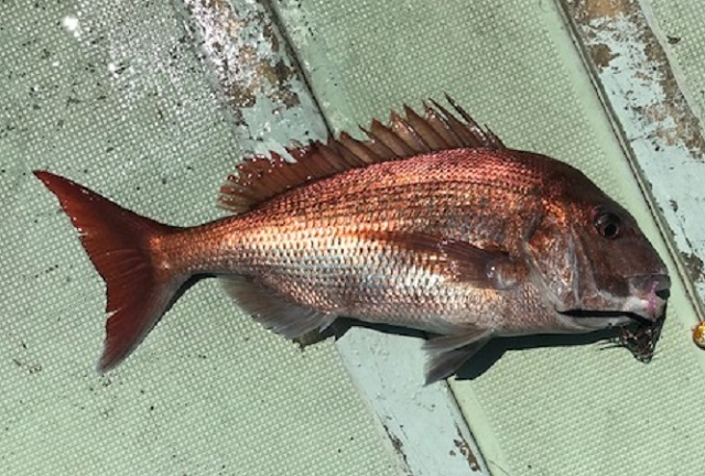 男鹿沖 鯛ラバの釣果1