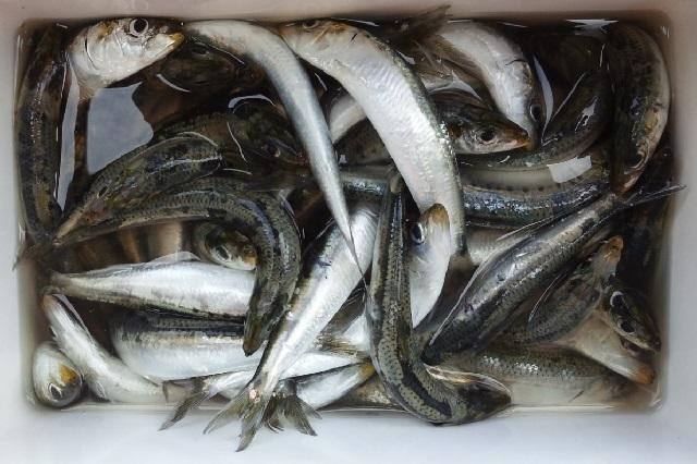 能代港で釣れているイワシ