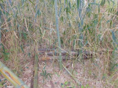 4.17篠竹が密生する薮