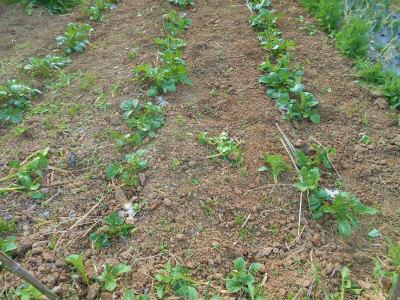 5.1ジャガイモの芽かき