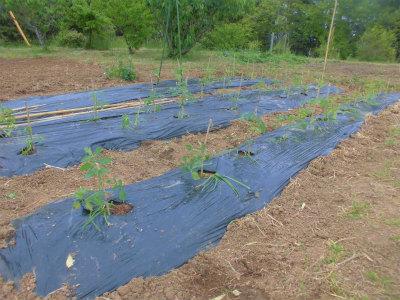 5.6トマトの定植2