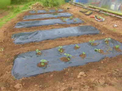 5.6茄子の定植