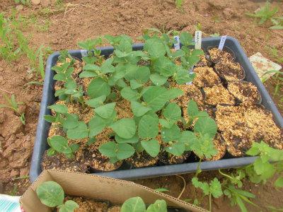 5.6枝豆の苗