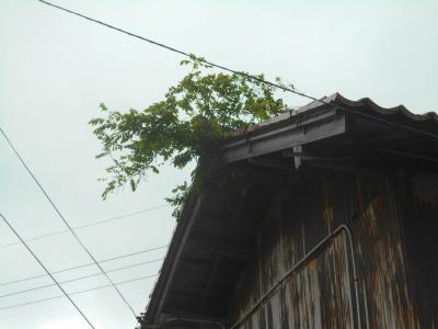 5.8空家の屋根に藤の木
