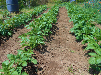 5.11ジャガイモの2回目の土寄せ