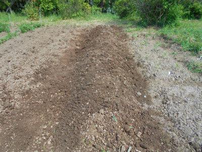 5.11山芋定植完了