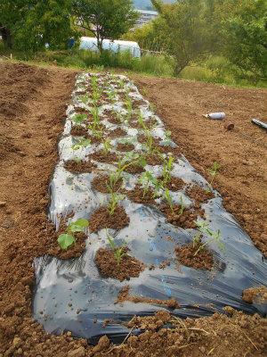 5.12トウモロコシと枝豆の定植