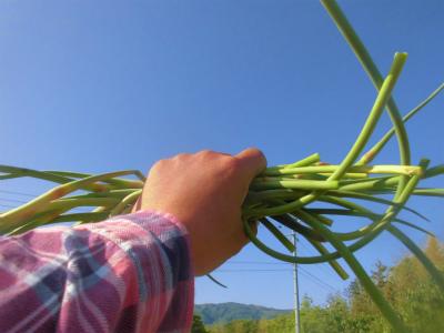 5.14ニンニクの芽収穫