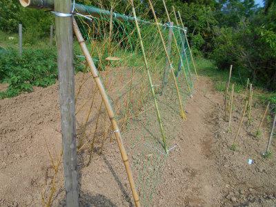 5.16山芋の支柱