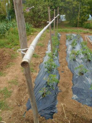 5.20トマトの支柱づくり