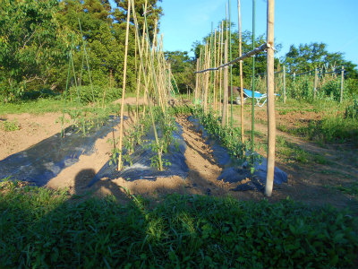5.21トマトの支柱づくり