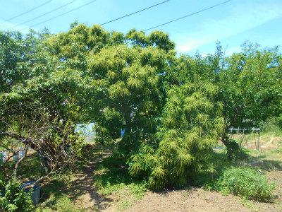 5.22栗の木